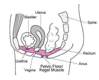 Pelvic_Floor_Diagram