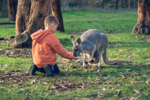 Little kid sitting on the ground and feeding australian kangaroo. Color-toning effects applied