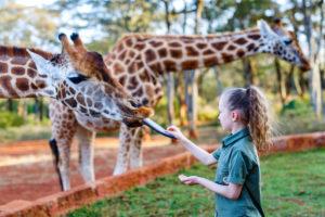 Cute little girl feeding giraffes